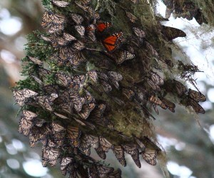 Monarchs roosting in a cypress tree