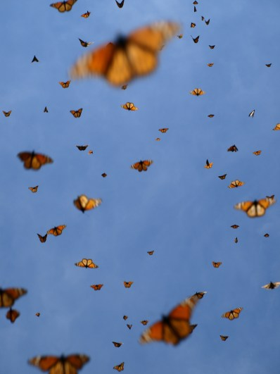 Monarchs flying in Mexican Sky