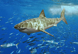 Great white shark off Isla Guadalupe, Mexico in 2006. Photo by Terry Goss.