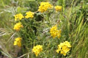 Franciscan wallflowers ((Erysimum franciscanum)