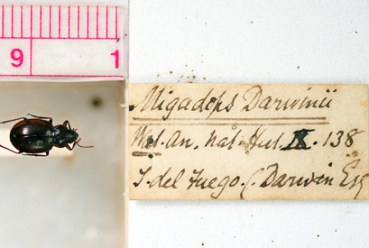 A beetle collected in 1833 by Charles Darwin in Tierra Del Fuego, Chile.