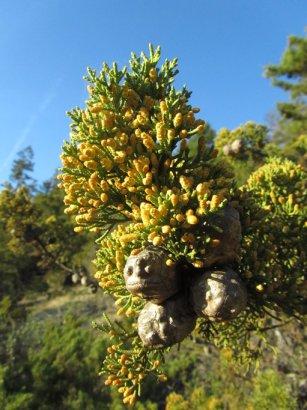 Butano Ridge cypress Hesperocyparis abramsiana variety butanoensis  © 2013 Joey Malone