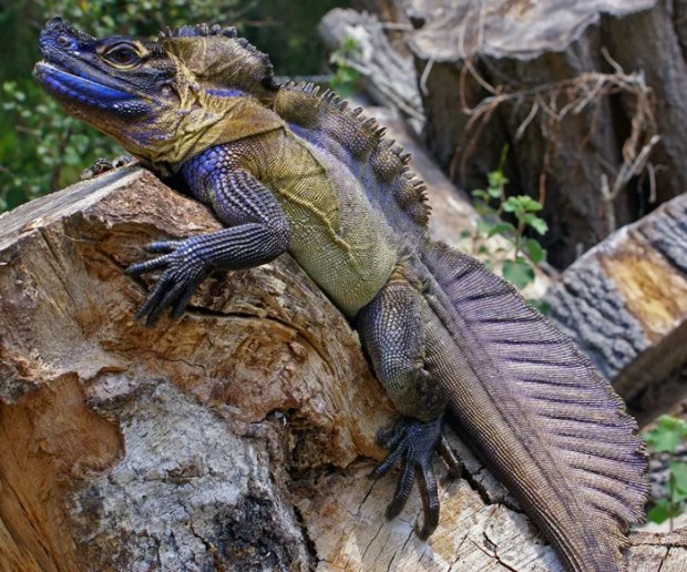 A genetics survey 'resurrects' a sailfin dragon species that was misclassified in 1872, while providing a new blueprint for patrolling a black market trade. Credit: Scott Corning