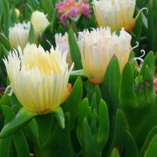 ice plant close-up 2