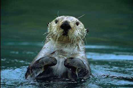 A sea otter in Prince William Sound, Alaska. (Photo by Laura R)
