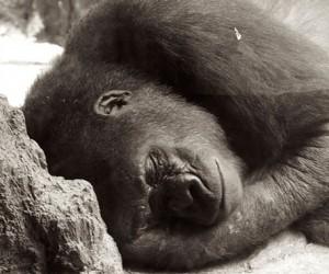 gorilla-top
