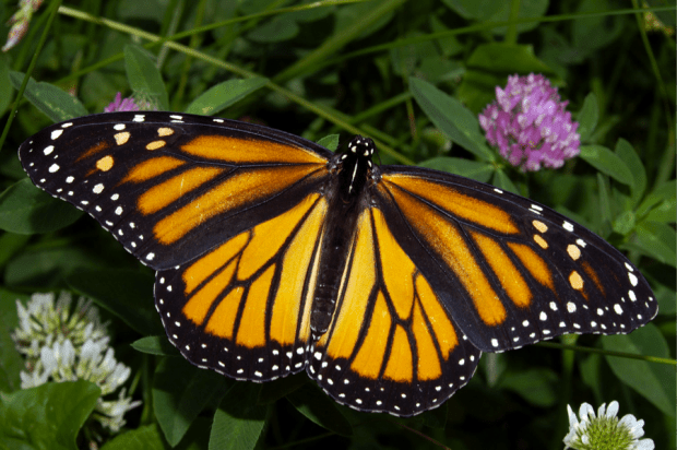 """Monarch in May."" Image credit: Kenneth Dwain Harrelson via Wikipedia. CC BY-SA 3.0. http://bit.ly/1CbXgQf"