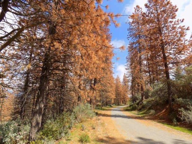 Dead trees near roads pose a safety hazard. Credit: U.S. Forest Service Region 5 (CC BY2.0)