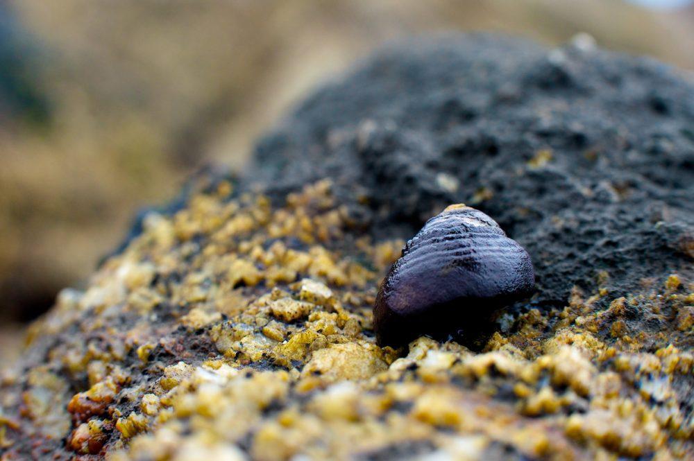 Black turban snail. Credit: Gabriel Ng