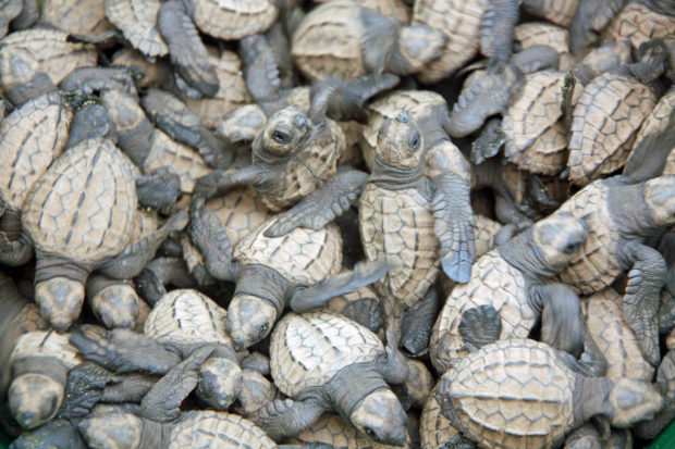 Olive ridley sea turtle hatchlings on the Osa Peninsula, Costa Rica. Photo by Sukee Bennett.