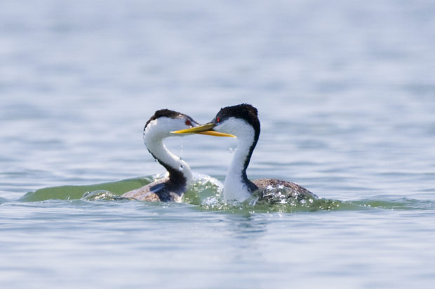 Two grebes, a species badly affected in a 2007 algal bloom, in Morro Bay California. Credit: Mike Baird Flickr (CC BY2.0)