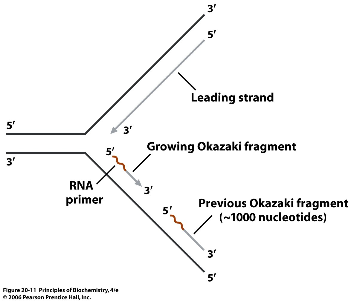 Dna Polymerase I And The Synthesis Of Okazaki Fragments