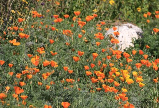 Photo courtesy Descanso Gardens In addition to a host of Earth Day-inspired activities, Descanso Gardens this weekend will feature a native wildflower display that will include California poppies.