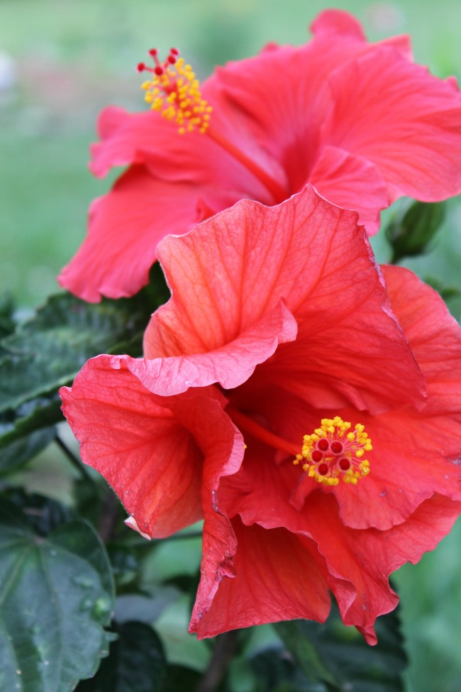 Flower Friday – Full Bloom Hibiscus