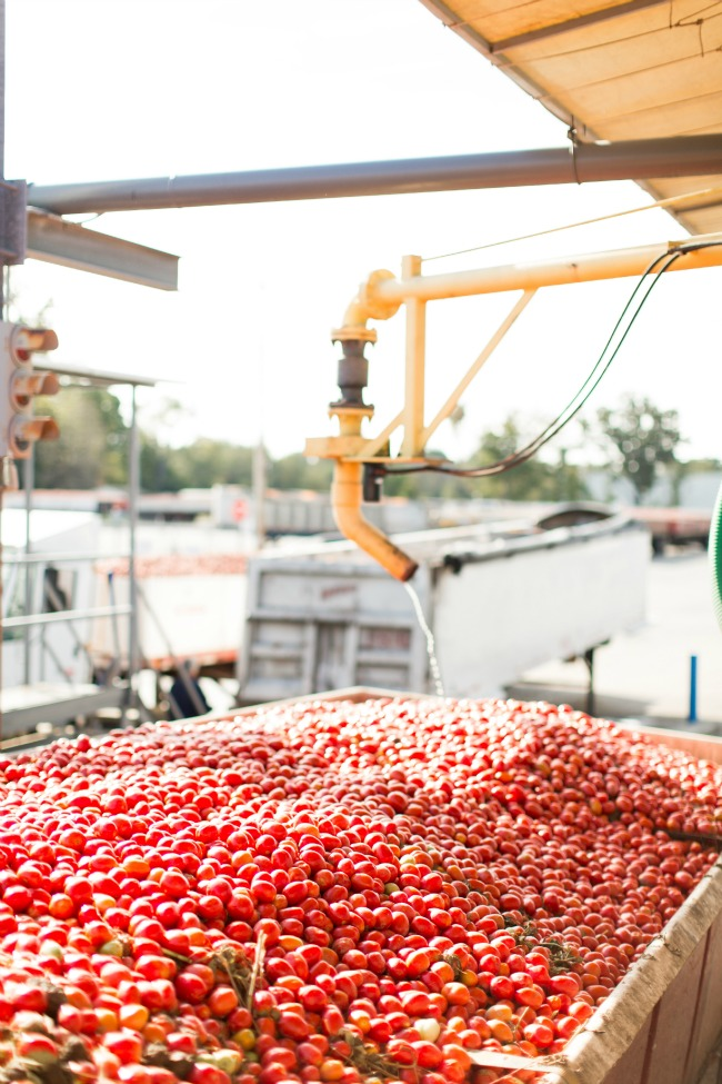 Farm to Table – Red Gold Tomato Harvest