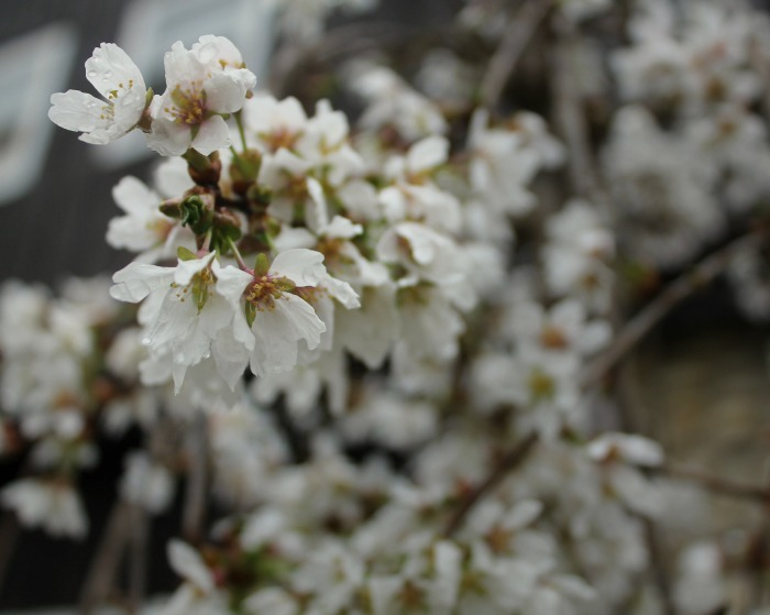 weeping cherry blossoms Spring Flowers