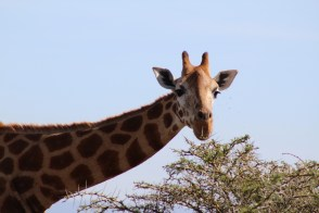 Artistic giraffe #2