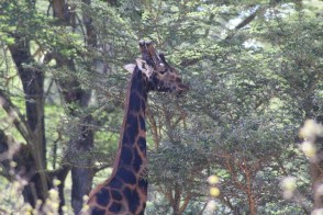 Artistic giraffe #3