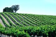 Savoring Grapes: Santa Ynez Valley
