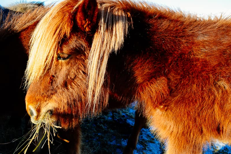 Icelandic Horse Iceland itinerary best things to do