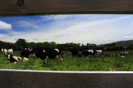 Green fields and Freisian cows in Ireland