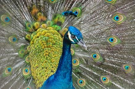 Peacock at Paradise Ranch