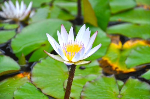Water Lily @ Baguio Bell Church