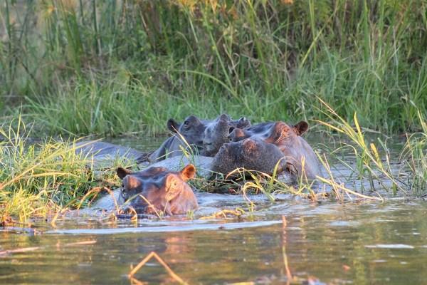 Hippopotamus in Africa