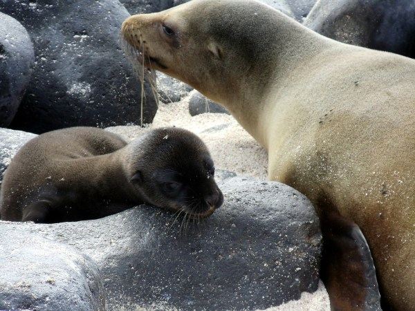 Sea Lions in Galapagos Island Fauna
