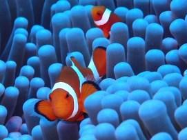 Clownfish in Siquijor - Photos courtesy of Roberto Gillardoni / Coco Grove Dive Shop