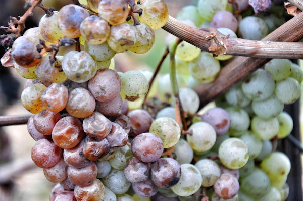 Grapes used for Ice Wine