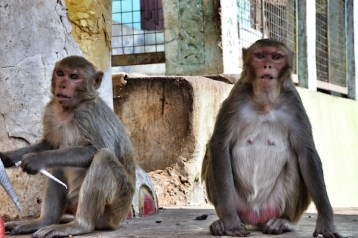 Monkeys in the Temple Entrance