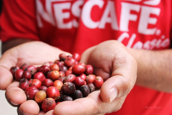 Nescafe Davao Day2- A Nescafe agriculturist shows off newly-picked coffee berries ready for drying.