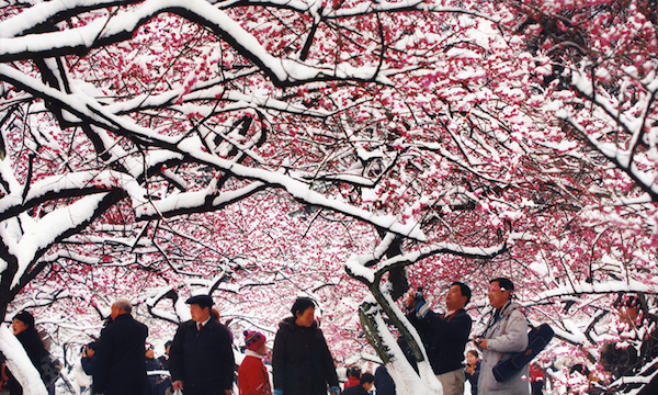 Lingfeng Winter-sweet and Mume Blossom Show