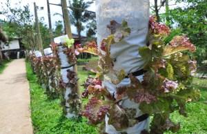 Urban Organic Farming Technique by Costales Nature Farms