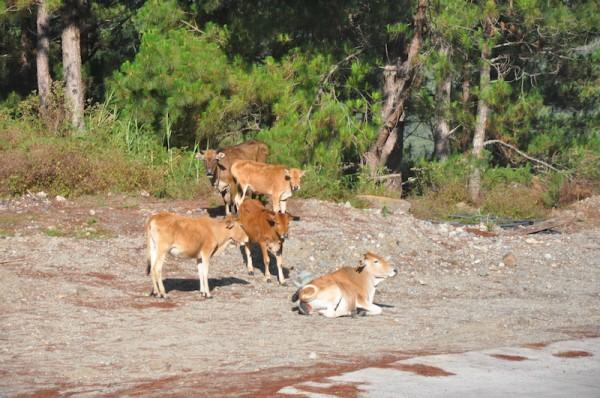 Roaming Cows in Besao