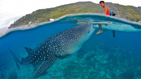 Whale Shark Interaction in Oslob Cebu by Janey