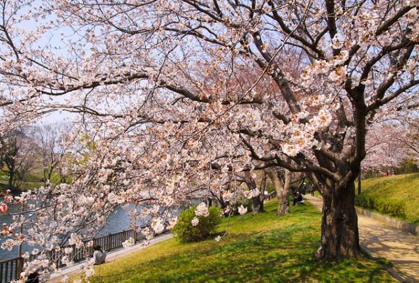 Cherry Blossoms in Japan photo by Makoto Okuda