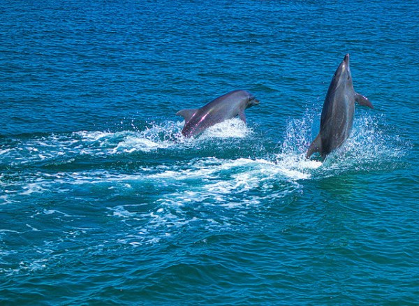 Dolphins in Subic Bay photo by Edward Musiak