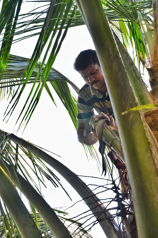 Tapping and harvesting of toddy
