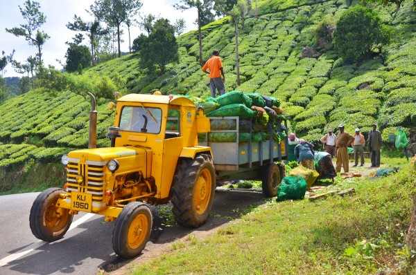 Tea Farmers at Munnar Tea Plantation