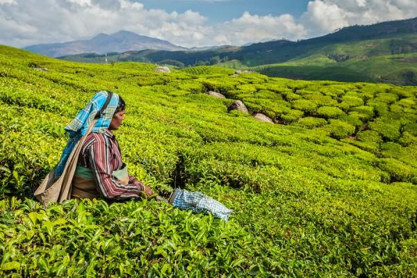 Tea Plantation in Munnar Kerala