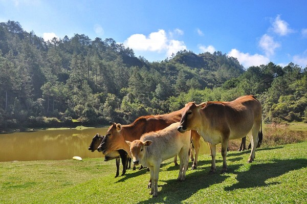 Roaming cows in Lake Danum