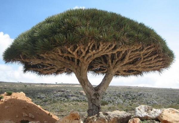 Socotra Dragon Tree in Yemen