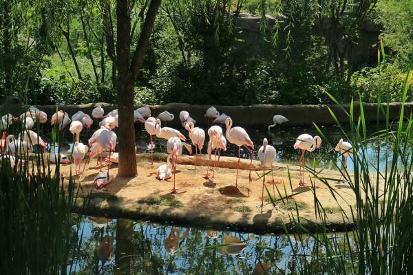 Dozens of Flamingos inside the Amazing Safari of Everland Park