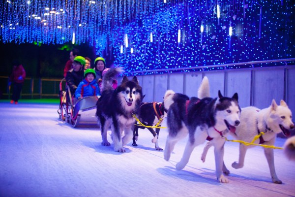 Sled pulled by real snow dogs
