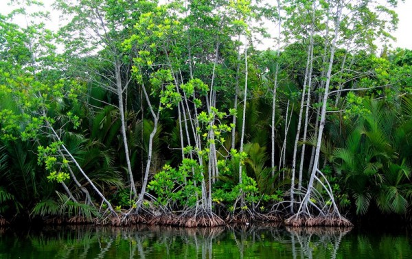Mangroves or locally known as bakawan