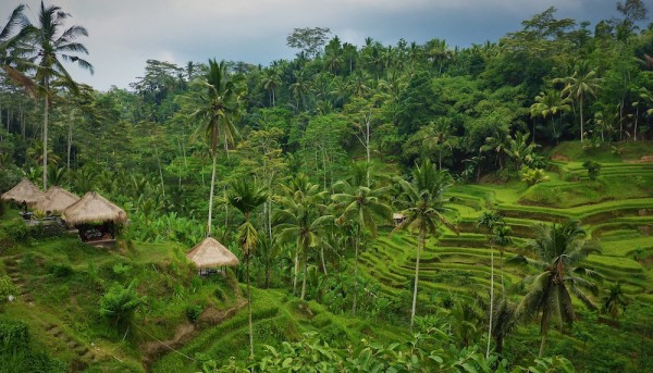 Ubud Rice Terraces in Bali Indonesia
