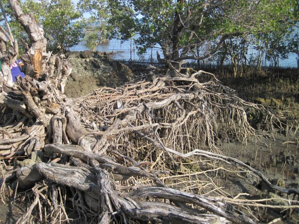 Eroded mangroves at Bgy. San Lorenzo