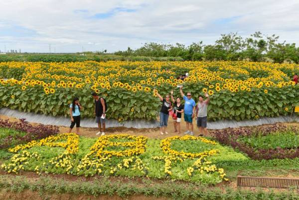 Amazing Sunflower Farm photo by Allied Botanical Corporation